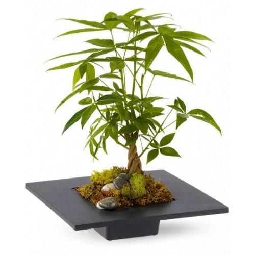 Money Tree House Plants
