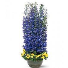 Distinguished Delphinium Flowers