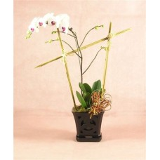 Valentine's Day - Blooming Phalaenopsis Orchid