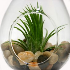 Air Plants - Terrarium